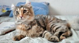 American Curl Wallpaper