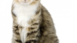 American Curl Wallpaper For Mobile