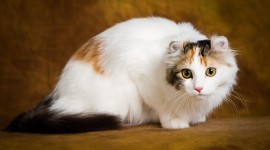 American Curl Wallpaper HQ