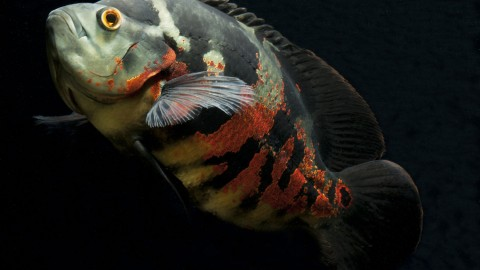 Astronotus Ocellatus wallpapers high quality