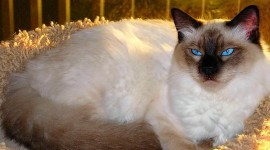 Balinese Cats Desktop Wallpaper