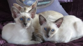Balinese Cats Photo Download