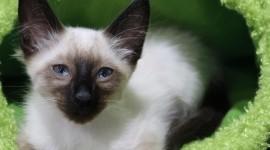 Balinese Cats Photo Free