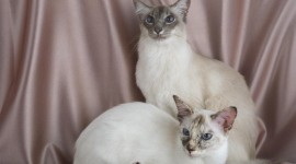 Balinese Cats Wallpaper