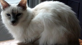 Balinese Cats Wallpaper For Desktop