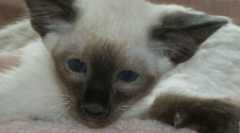 Balinese Cats Wallpaper For PC