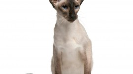 Balinese Cats Wallpaper Free