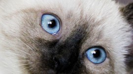 Balinese Cats Wallpaper Gallery