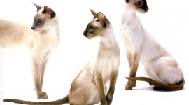 Balinese Cats Wallpaper HQ