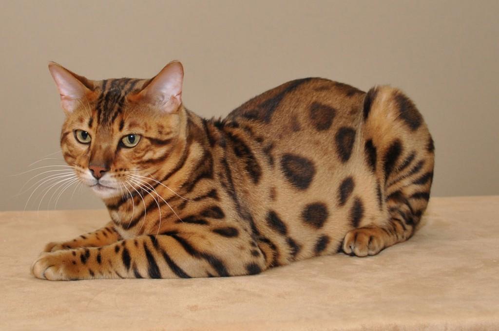 Bengal Cat wallpapers HD