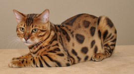 Bengal Cat Best Wallpaper