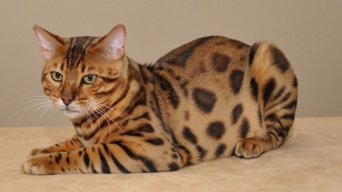 Bengal Cat wallpapers high quality