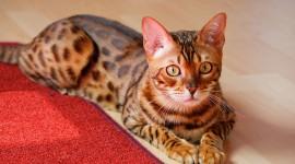 Bengal Cat Desktop Wallpaper