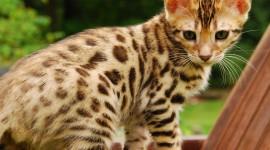 Bengal Cat Desktop Wallpaper HD