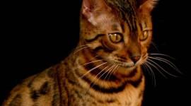Bengal Cat Photo Download