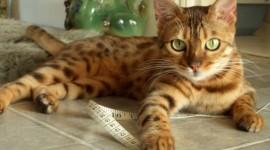 Bengal Cat Photo Free