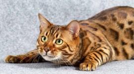 Bengal Cat Wallpaper 1080p