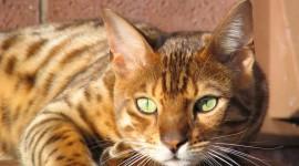 Bengal Cat Wallpaper