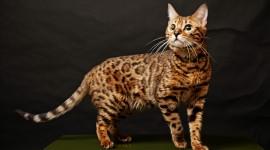 Bengal Cat Wallpaper For Desktop