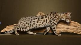 Bengal Cat Wallpaper For PC