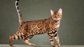 Bengal Cat Wallpaper Free