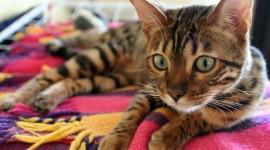 Bengal Cat Wallpaper Full HD