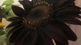 Black Flowers Desktop Wallpaper HD