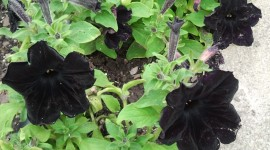 Black Flowers Photo Download