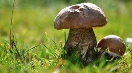 Boletus Wallpaper Gallery