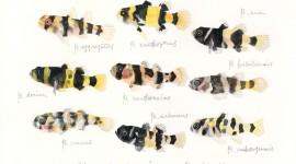Brachygobius Image
