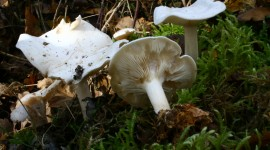 Clitocybe Photo Download