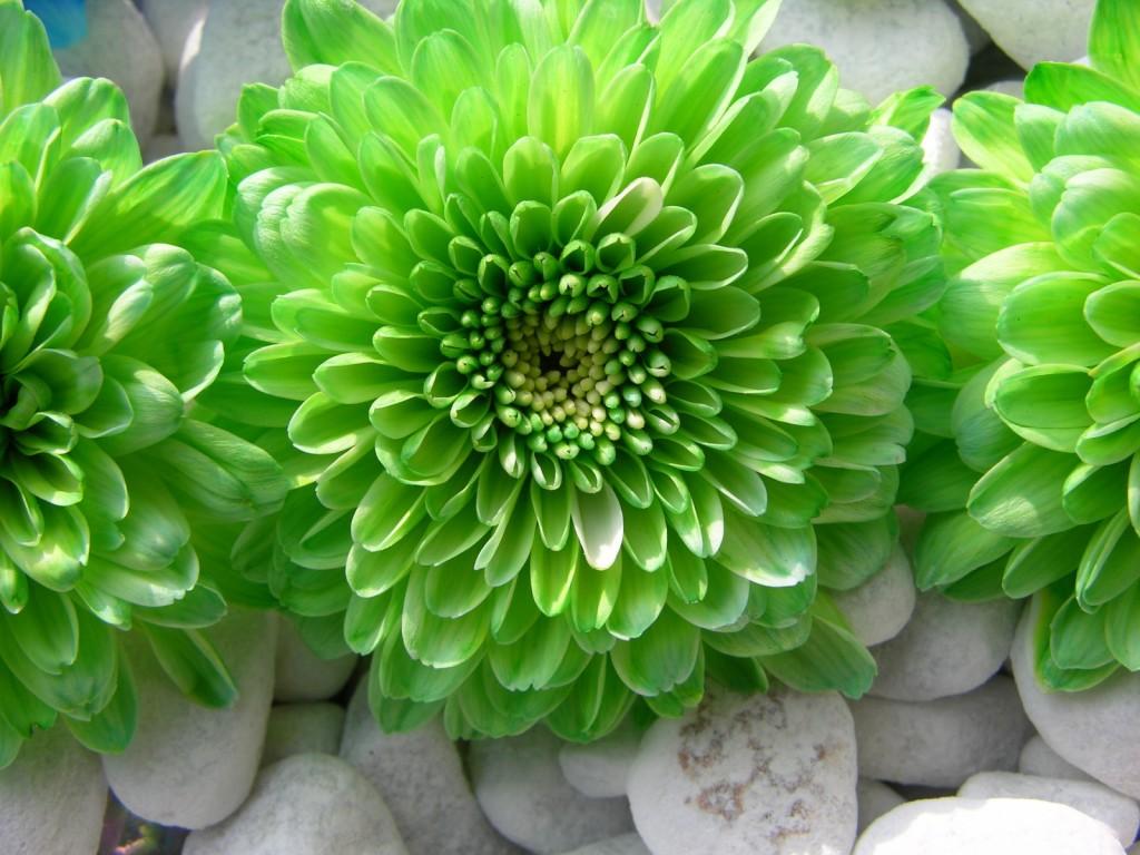 Green Flowers wallpapers HD