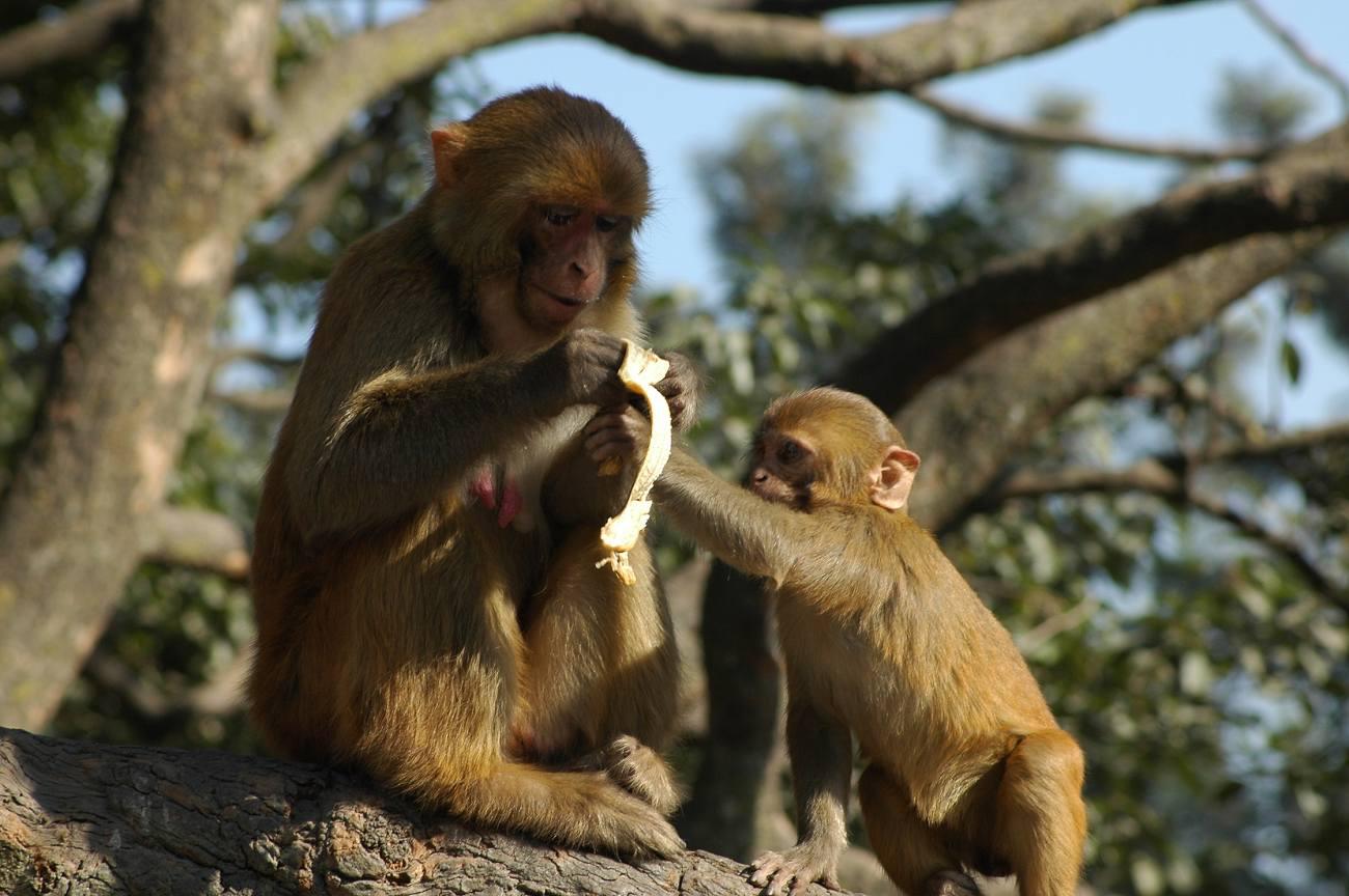 Cute monkey with banana