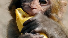 Monkey With Banana Wallpaper For Mobile