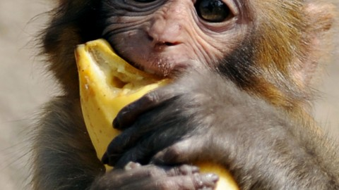 Monkey With Banana wallpapers high quality