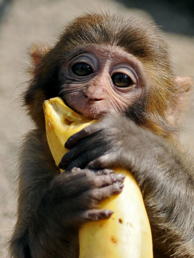 Monkey With Banana wallpapers HD