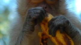 Monkey With Banana Wallpaper For Mobile#2