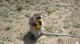 Monkey With Banana Wallpaper For PC