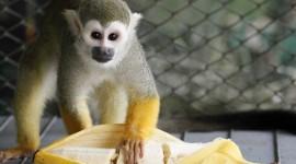 Monkey With Banana Wallpaper Free
