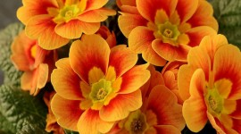 Orange Flowers Photo