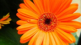 Orange Flowers Photo#4