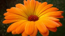 Orange Flowers Wallpaper For PC