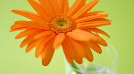 Orange Flowers Wallpaper Free