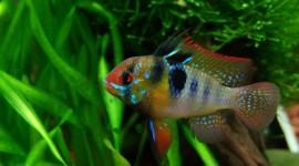 Papiliochromis Ramirezi Photo Download