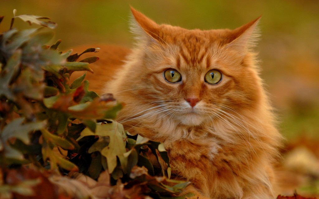 Red Cats wallpapers HD