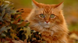 Red Cats Best Wallpaper