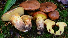 Suillus Wallpaper For PC