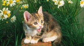 The American Wirehair Photo#1
