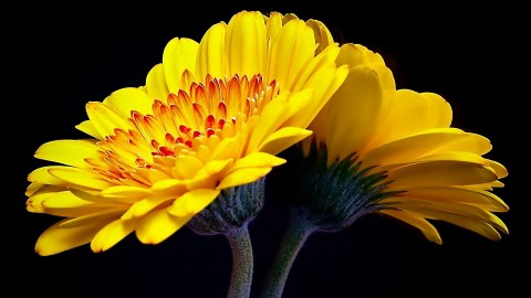 Yellow Flowers wallpapers high quality