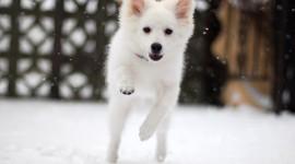 American Eskimo Dog Photo
